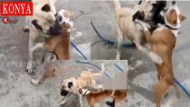 Konya'da Her Gün Yeni Bir Vukuat: Köpek Dövüştürenler Yakalandı